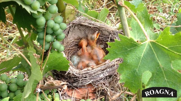 A nest in Pira vineyard